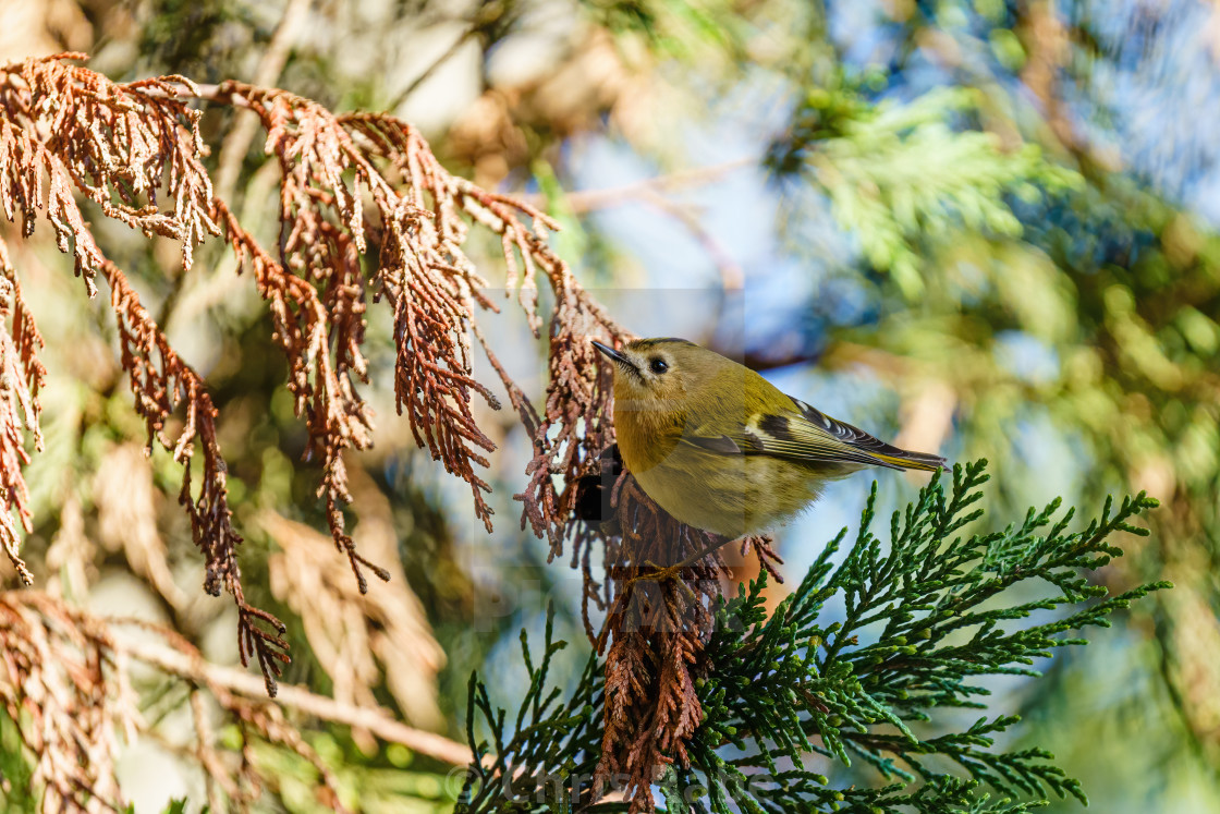 """Goldcrest (Regulus regulus), the uk's smallest bird, taken in London"" stock image"