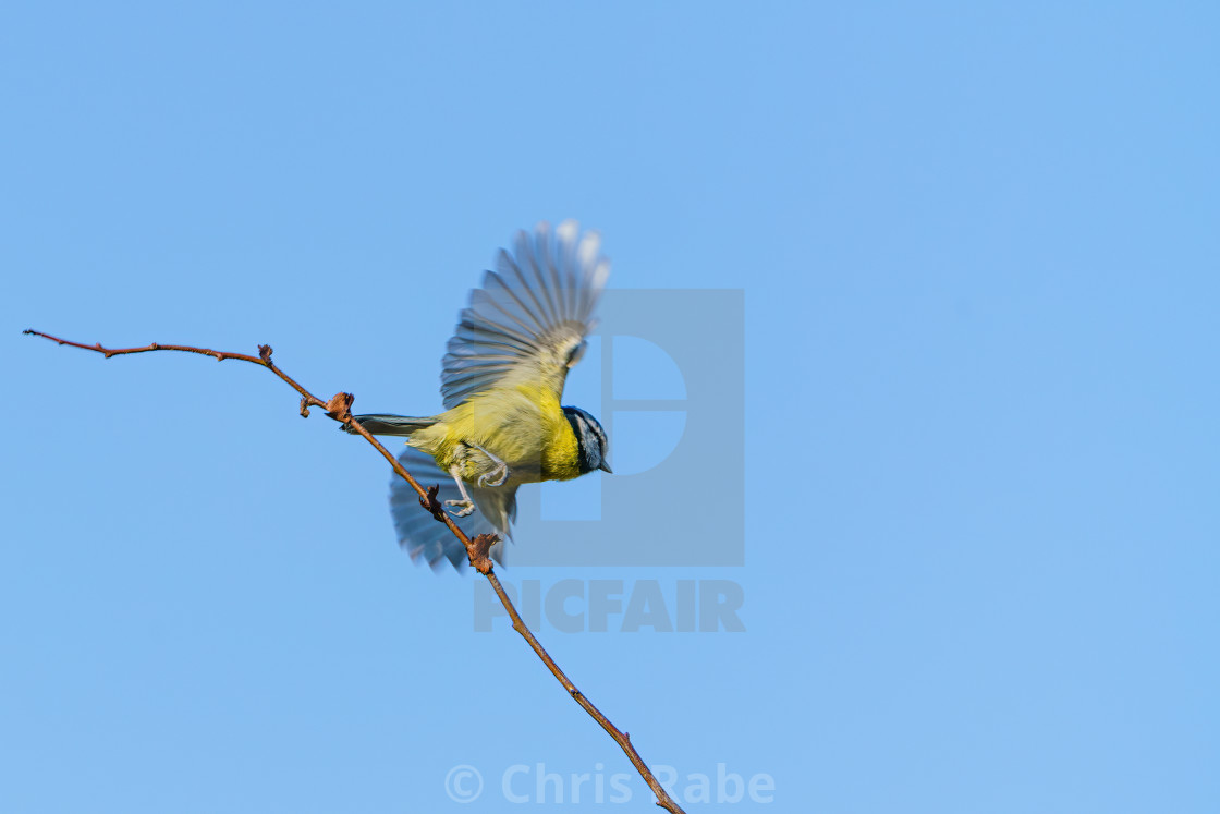 """Blue Tit (Cyanistes caeruleus) taking off, taken in the UK"" stock image"