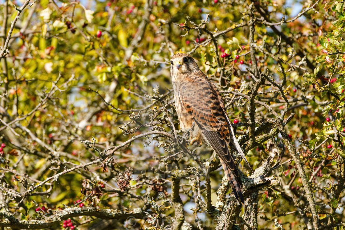 """Common Kestrel (Falco tinnunculus) perched in a bush, taken in the UK"" stock image"