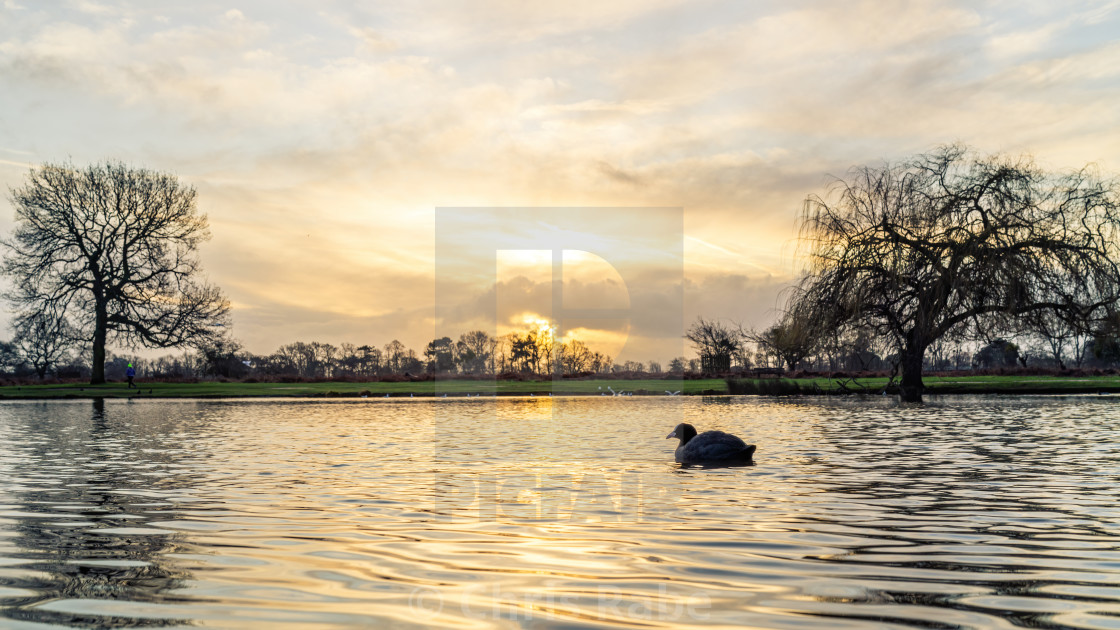 """Coot (Fulica atra) on a pond at sunrise in winter, taken in the UK"" stock image"