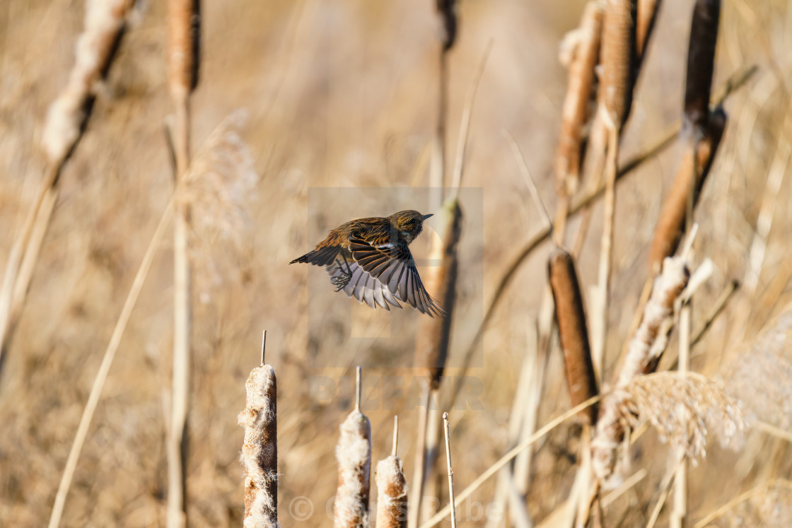 """Stonechat (Saxicola torquata) female in flight, taken in the UK"" stock image"