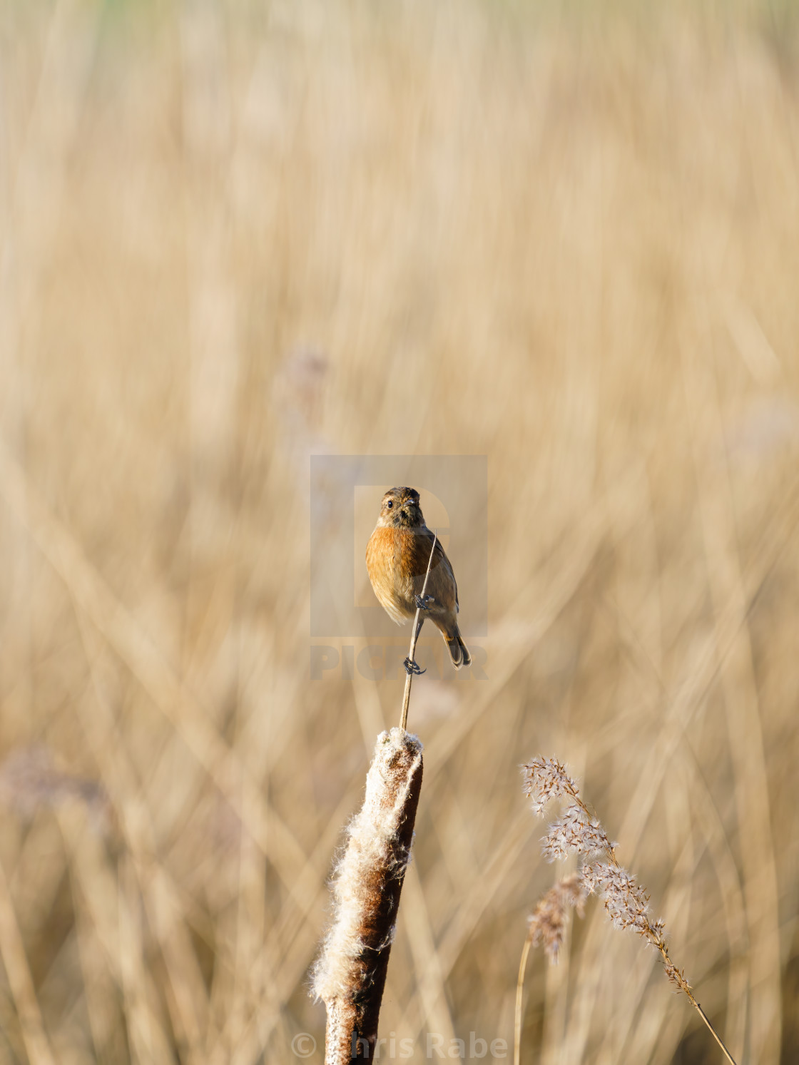 """Female Stonechat (Saxicola torquata) on a reed, taken in the UK"" stock image"