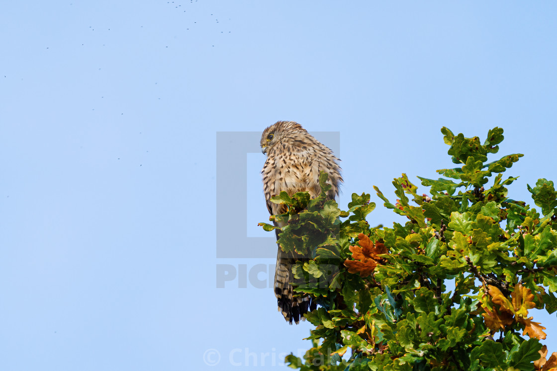 """Common Kestrel (Falco tinnunculus) sitting high in a tree searching for prey"" stock image"
