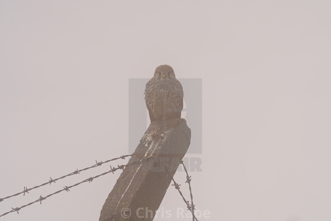 """Common Kestrel (Falco tinnunculus) perched on a cement fence post on a foggy..."" stock image"