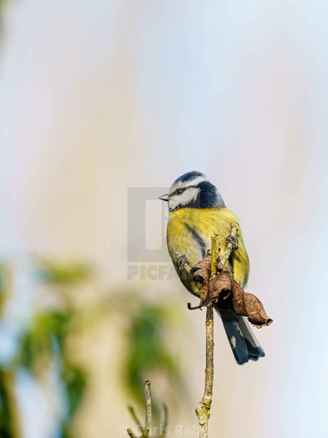 """Blue Tit (Cyanistes caeruleus) sitting on the end of a twig, taken in the UK"" stock image"