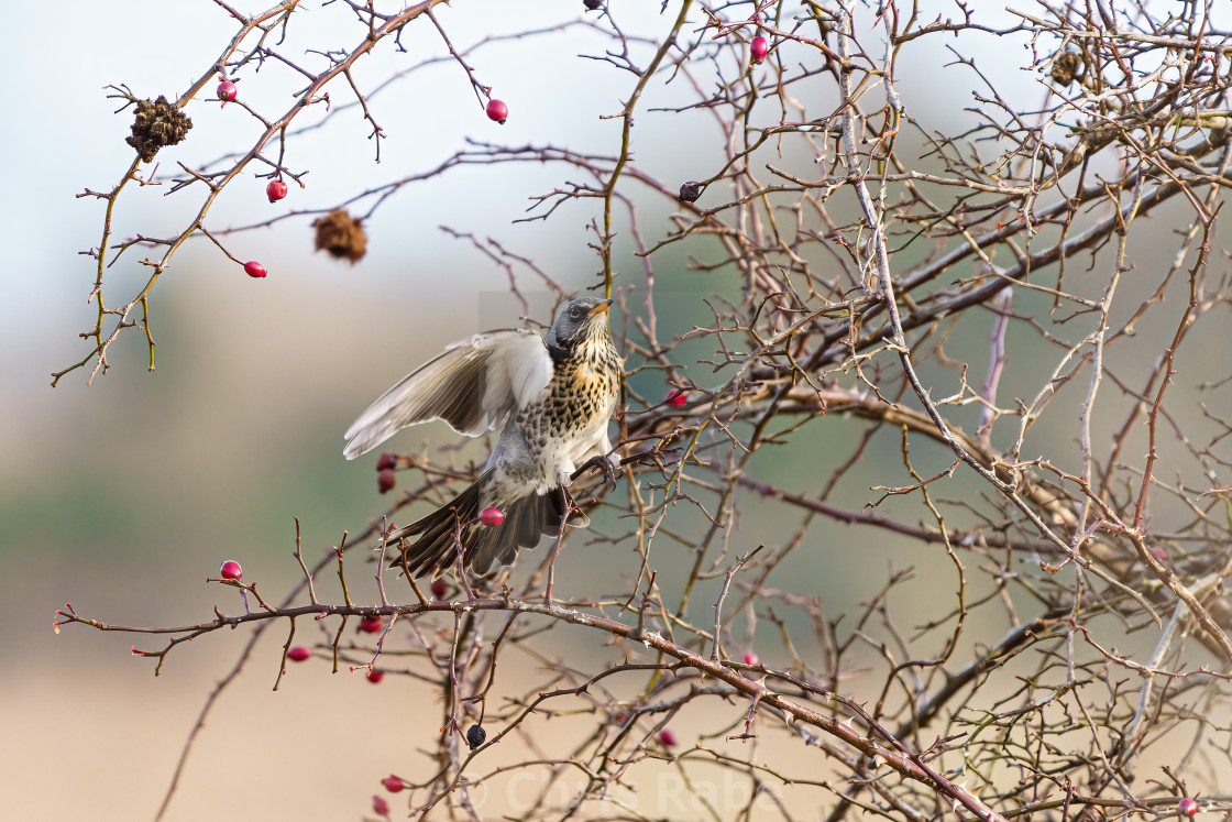 """Fieldfare (Turdus pilaris) landing in a bush, taken in UK"" stock image"