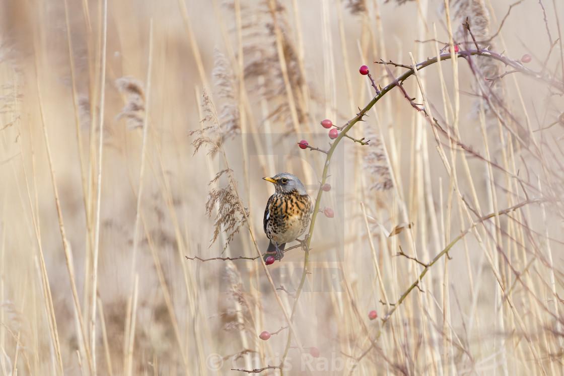 """Fieldfare (Turdus pilaris) sitting in a bush among long grass, taken in UK"" stock image"
