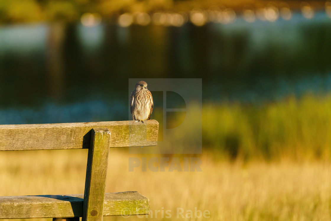 """Common Kestrel (Falco tinnunculus) sitting on a park bench in London"" stock image"