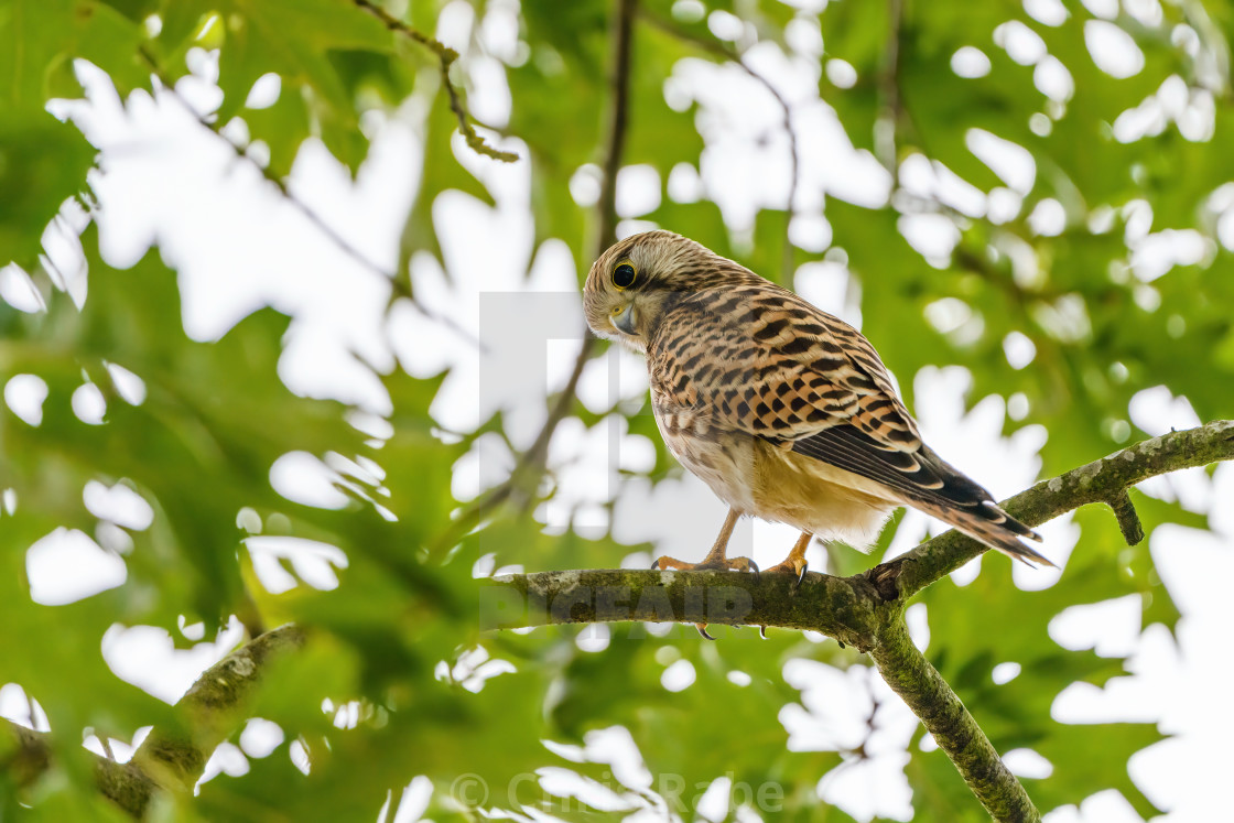 """Common Kestrel (Falco tinnunculus) sitting in a tree, looking back at camera,..."" stock image"