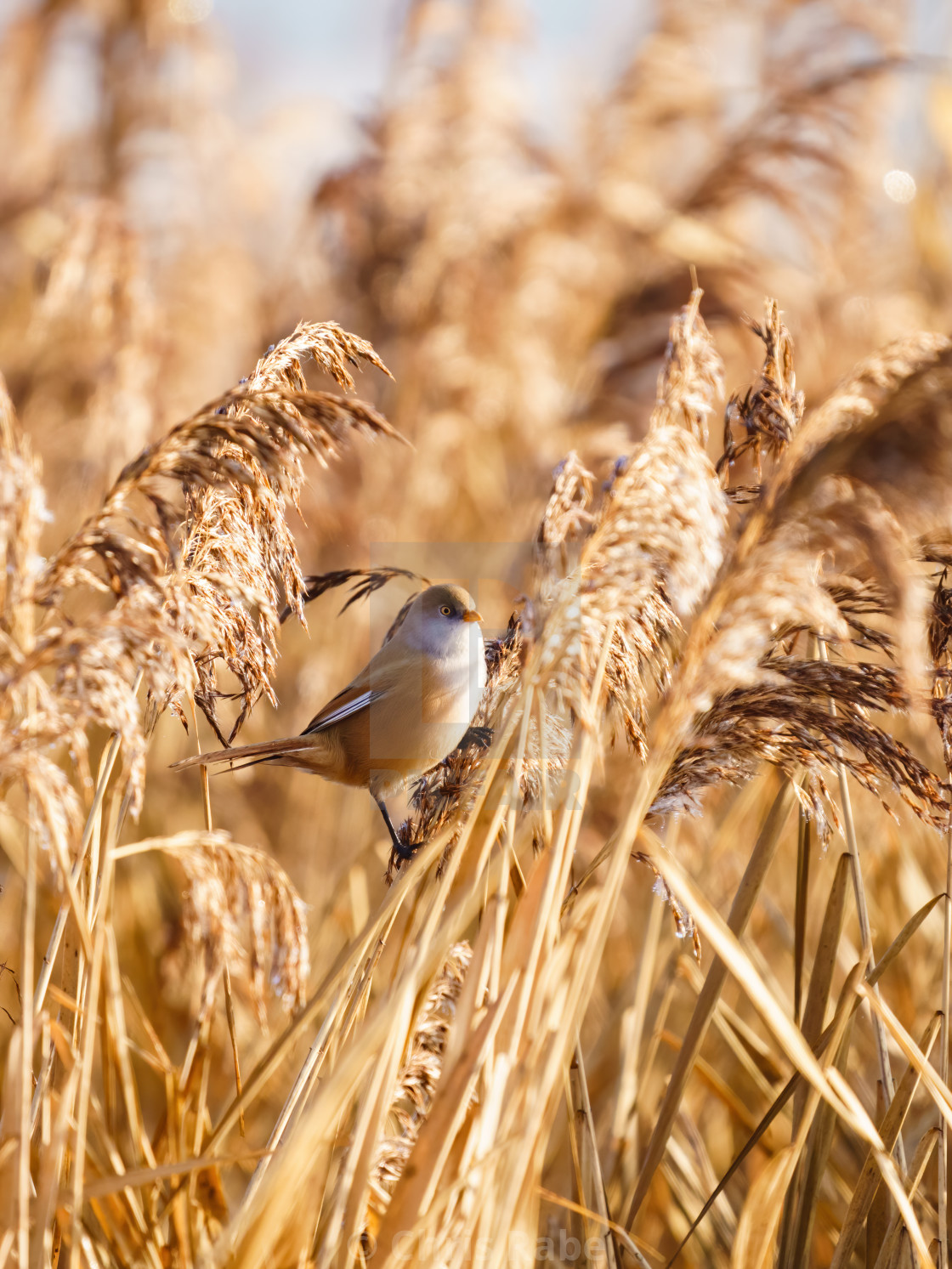 """""""bearded reedling (Panurus biarmicus) female perched on some reeds, taken in..."""" stock image"""