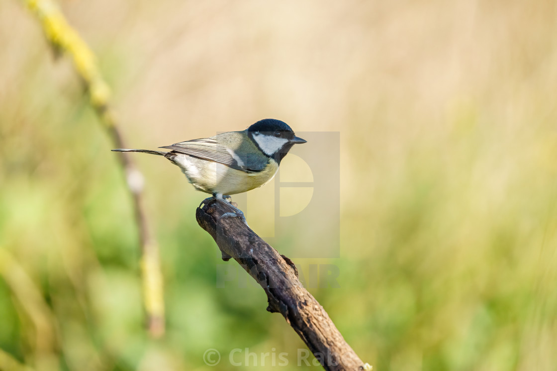 """Great Tit (Parus major) perched on a dead branch, taken in the UK"" stock image"