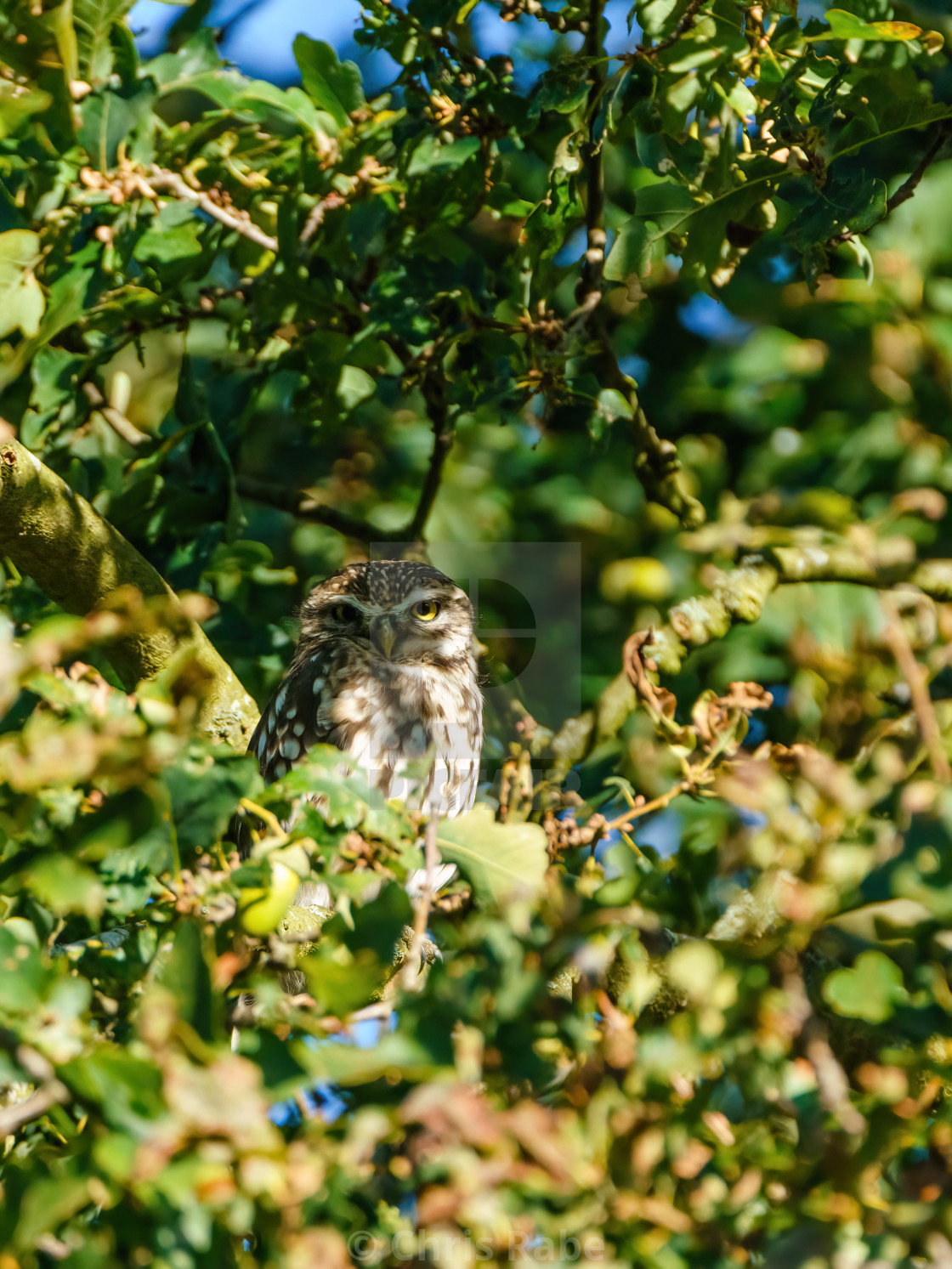 """Little Owl (Athene noctua) in tree with face half covered in shadow, taken in..."" stock image"