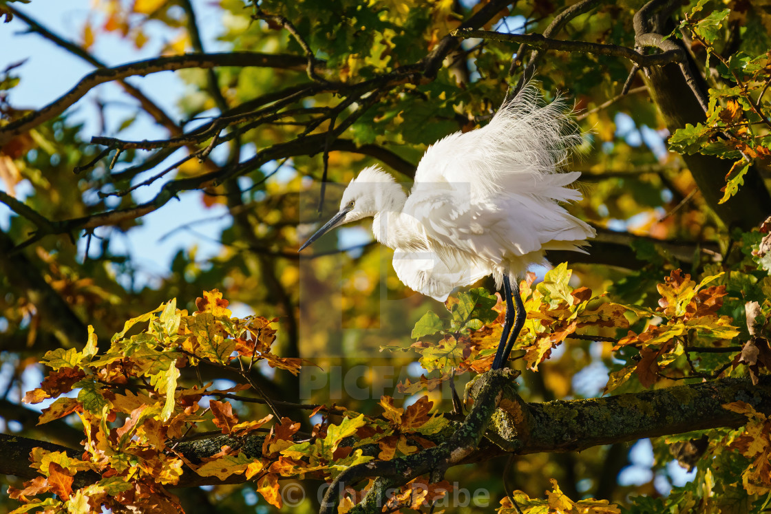 """Little Egret (Egretta garzetta) perched in a tree, ruffling it's feathers,..."" stock image"
