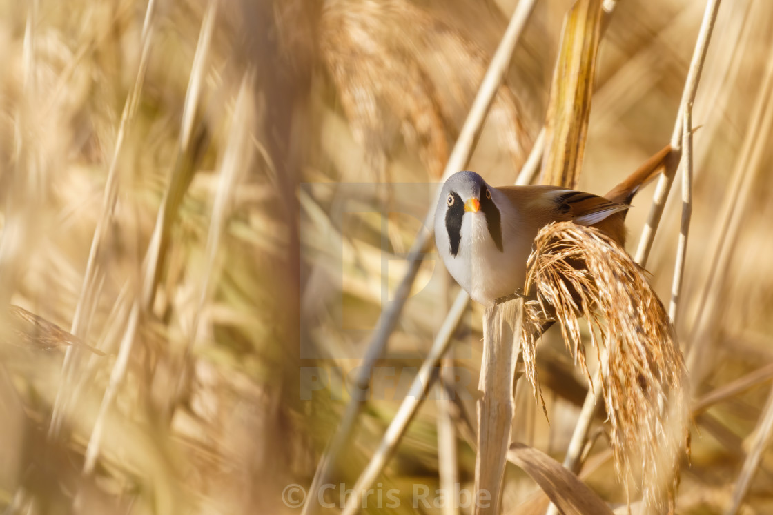 """Male bearded reedling (Panurus biarmicus) perched on the end of a reed, taken..."" stock image"
