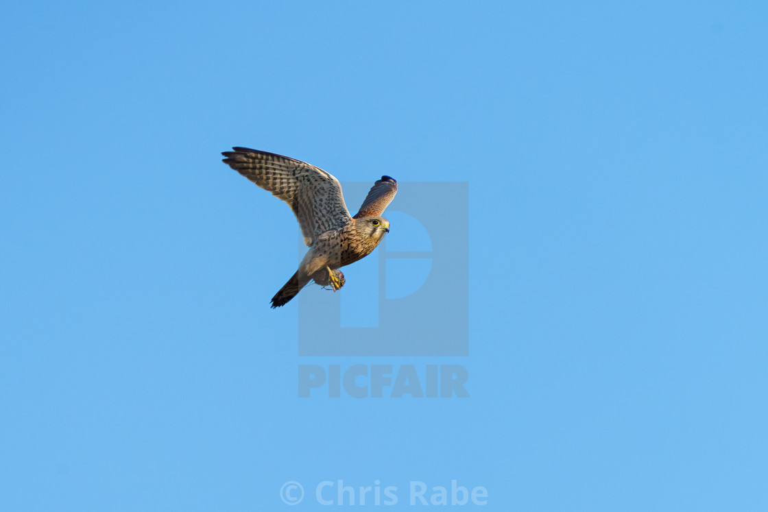 """Common Kestrel (Falco tinnunculus) in flight with a mouse in it's claws"" stock image"