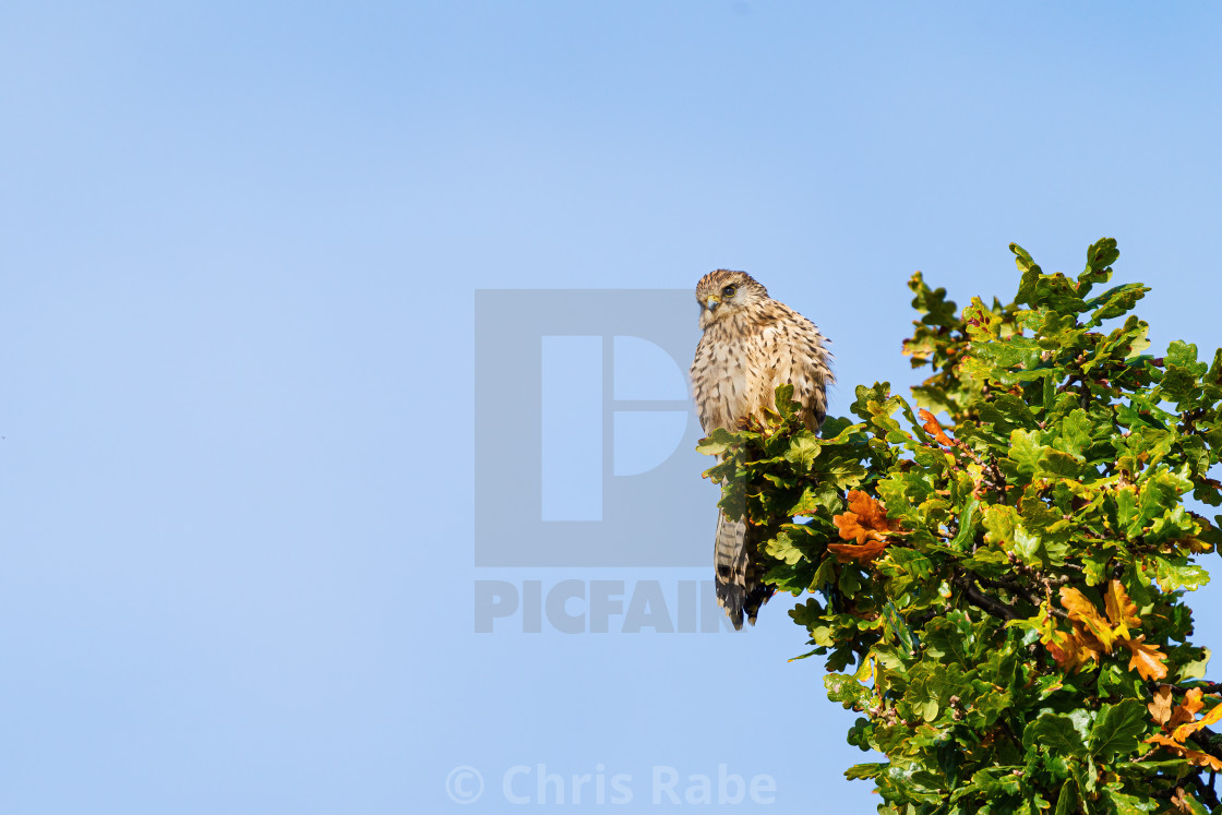 """Common Kestrel (Falco tinnunculus) perched on top of a tree, in London"" stock image"