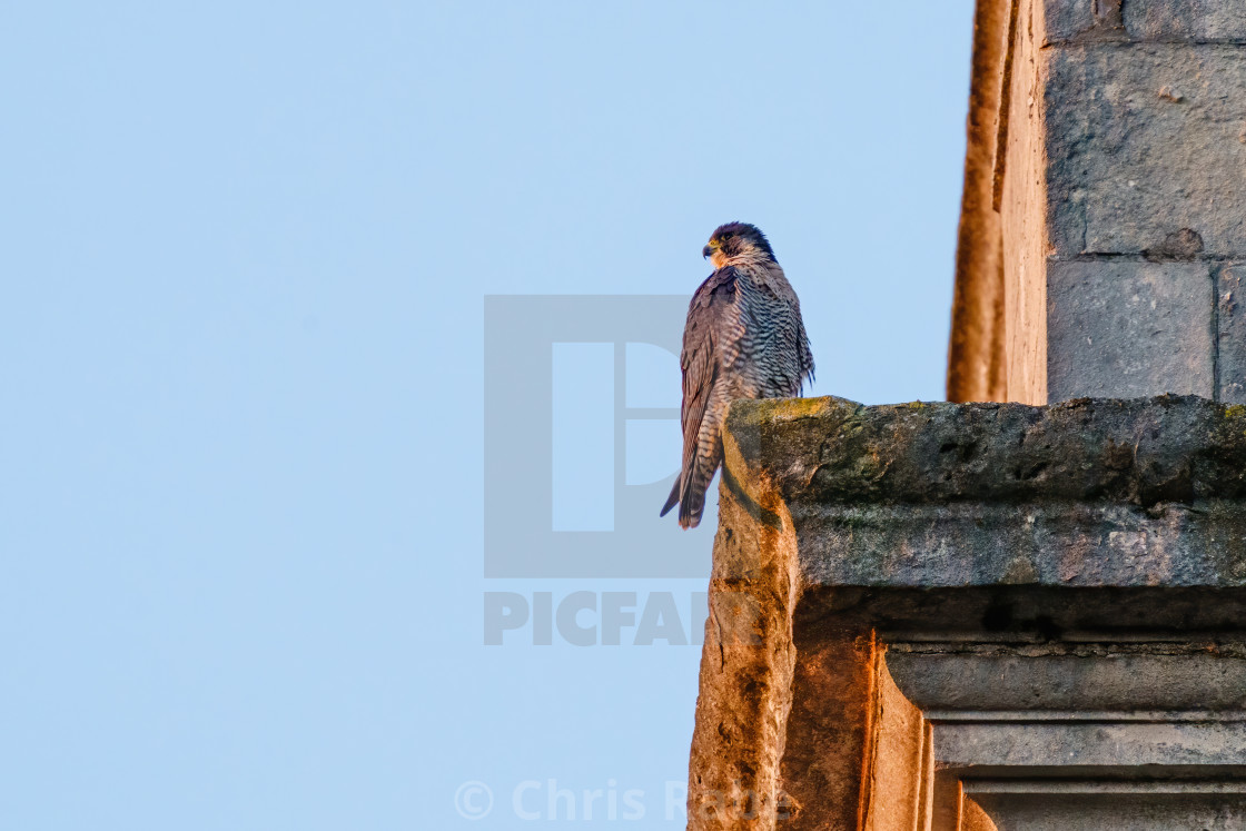 """Peregrine (Falco peregrinus) perched on the side of a church tower in London"" stock image"