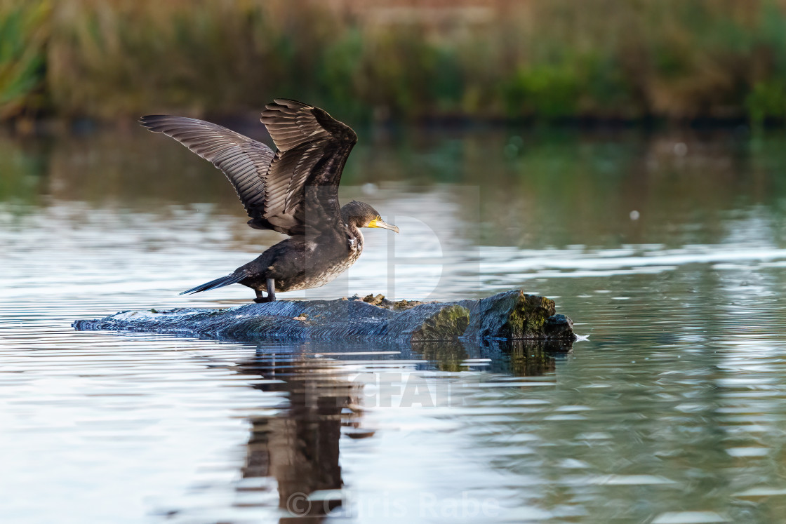 """Great Cormorant (Phalacrocorax carbo) taking off, taken in the UK"" stock image"