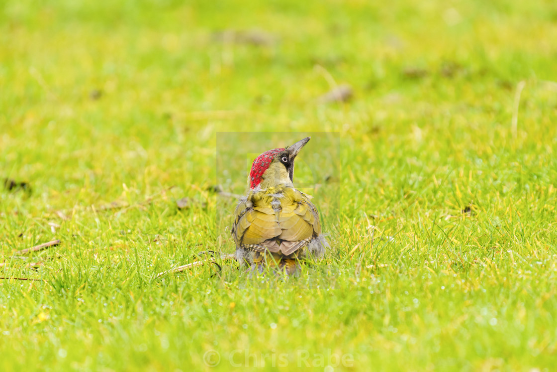 """Green Woodpecker (Picus viridis) standing in grass looking up, in the UK"" stock image"