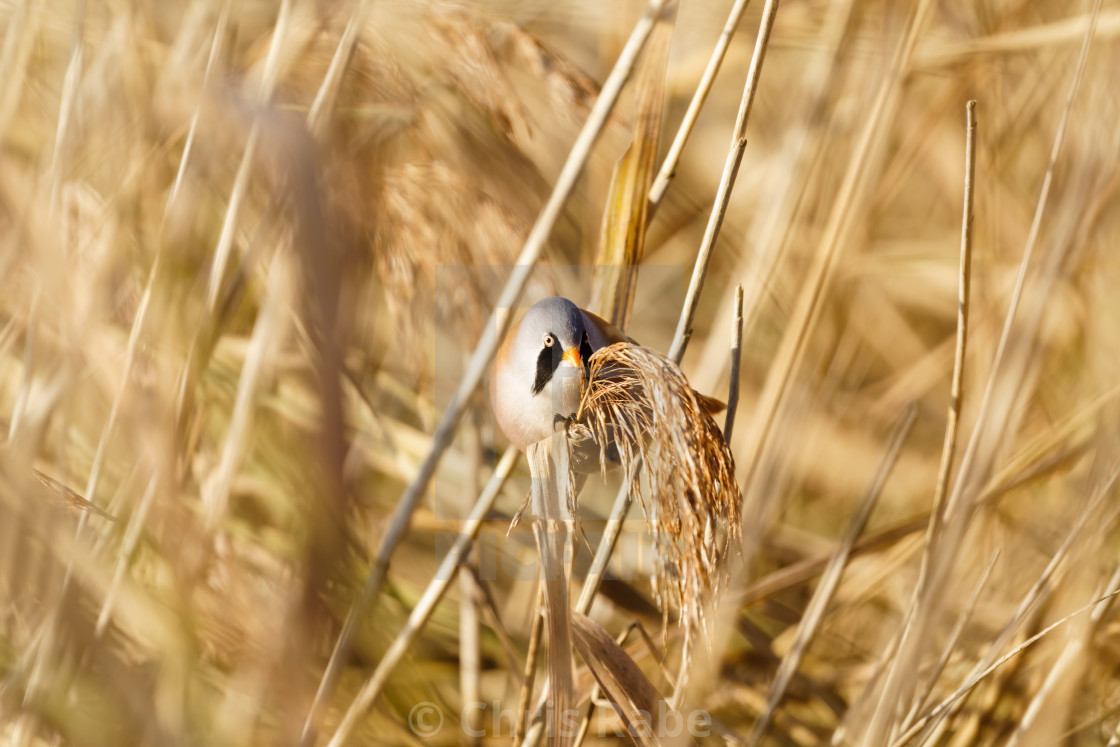 """Male bearded reedling (Panurus biarmicus) perched on reed, eating seeds,..."" stock image"