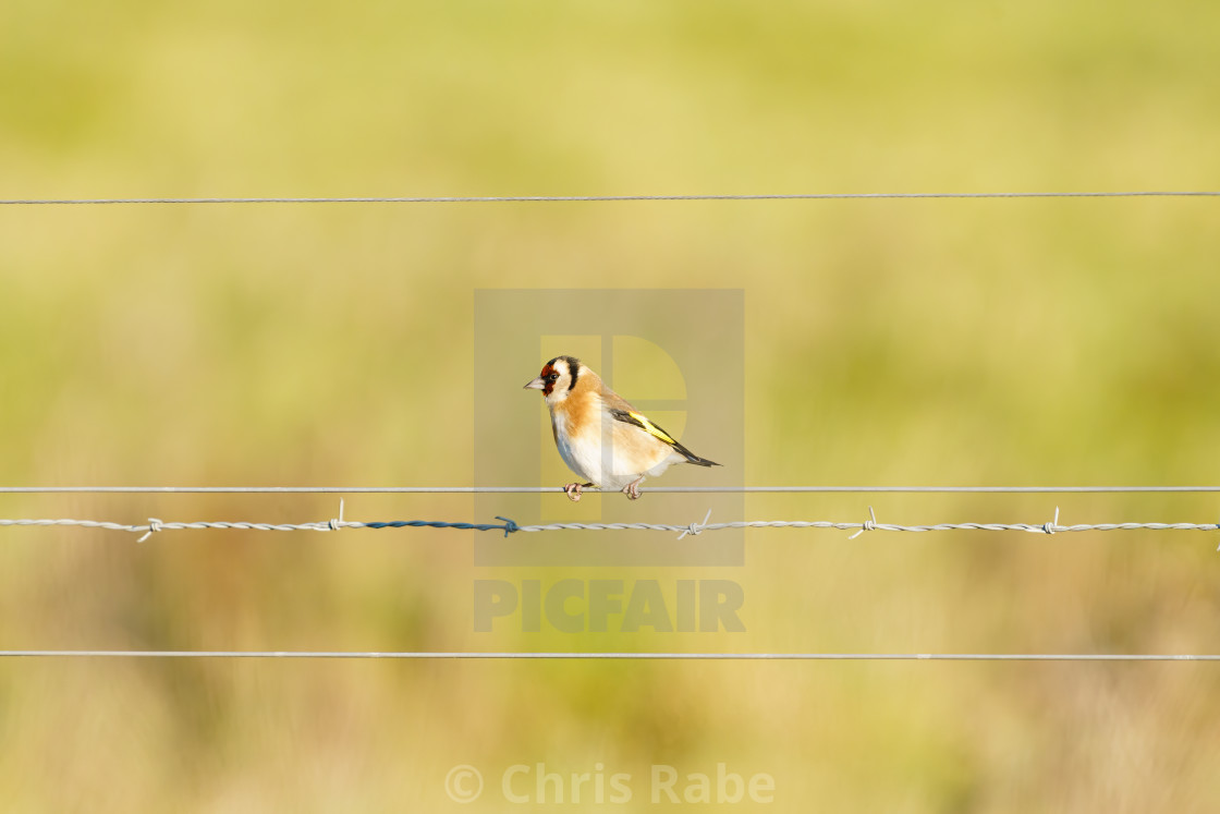 """European Goldfinch (Carduelis carduelis) perched on a wire fence in Essex,..."" stock image"
