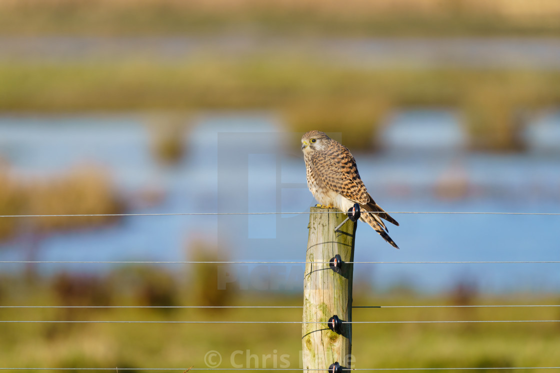 """Common Kestrel (Falco tinnunculus) in soft winter light, perched on a fence..."" stock image"