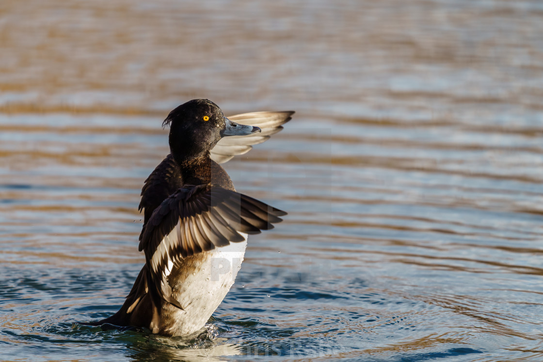 """Tufted Duck (Aythya fuligula) duck male, flapping it's wings, taken in the UK"" stock image"
