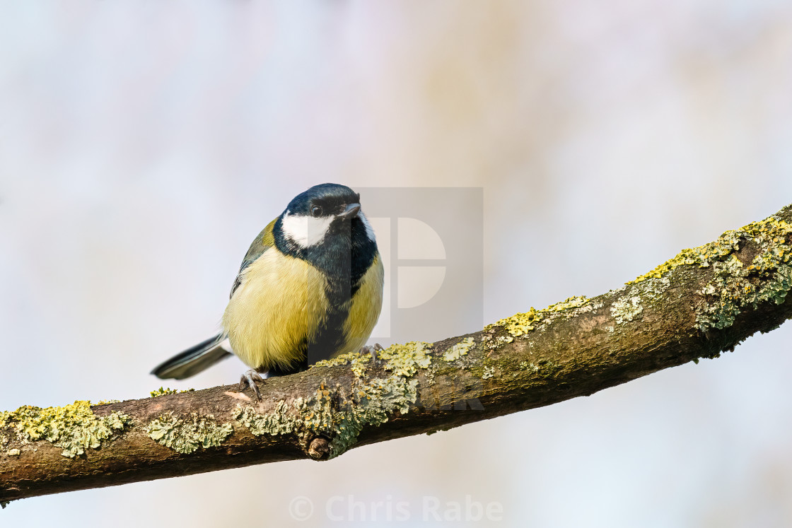 """Great Tit (Parus major) perched on a branch, taken in the UK"" stock image"