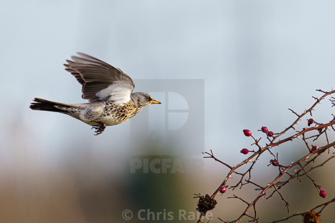 """Fieldfare (Turdus pilaris) in flight approaching a bush, taken in UK"" stock image"
