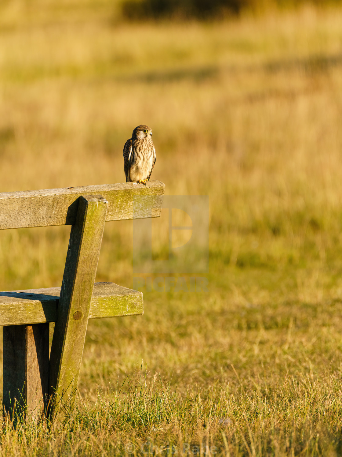 """Common Kestrel (Falco tinnunculus) sitting on the edge of a bench in London"" stock image"