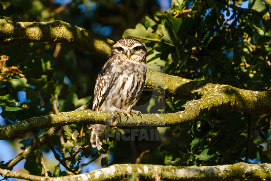 """Little Owl (Athene noctua) perched in a tree in bright daylight, taken in the UK"" stock image"