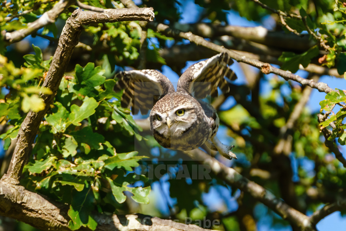 """Little Owl (Athene noctua) taking off, taken in the UK"" stock image"