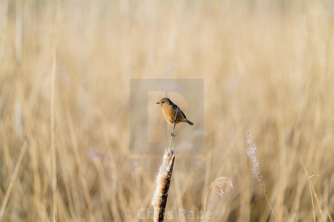 """Stonechat (Saxicola torquata) female perchedona reed, taken in the UK"" stock image"