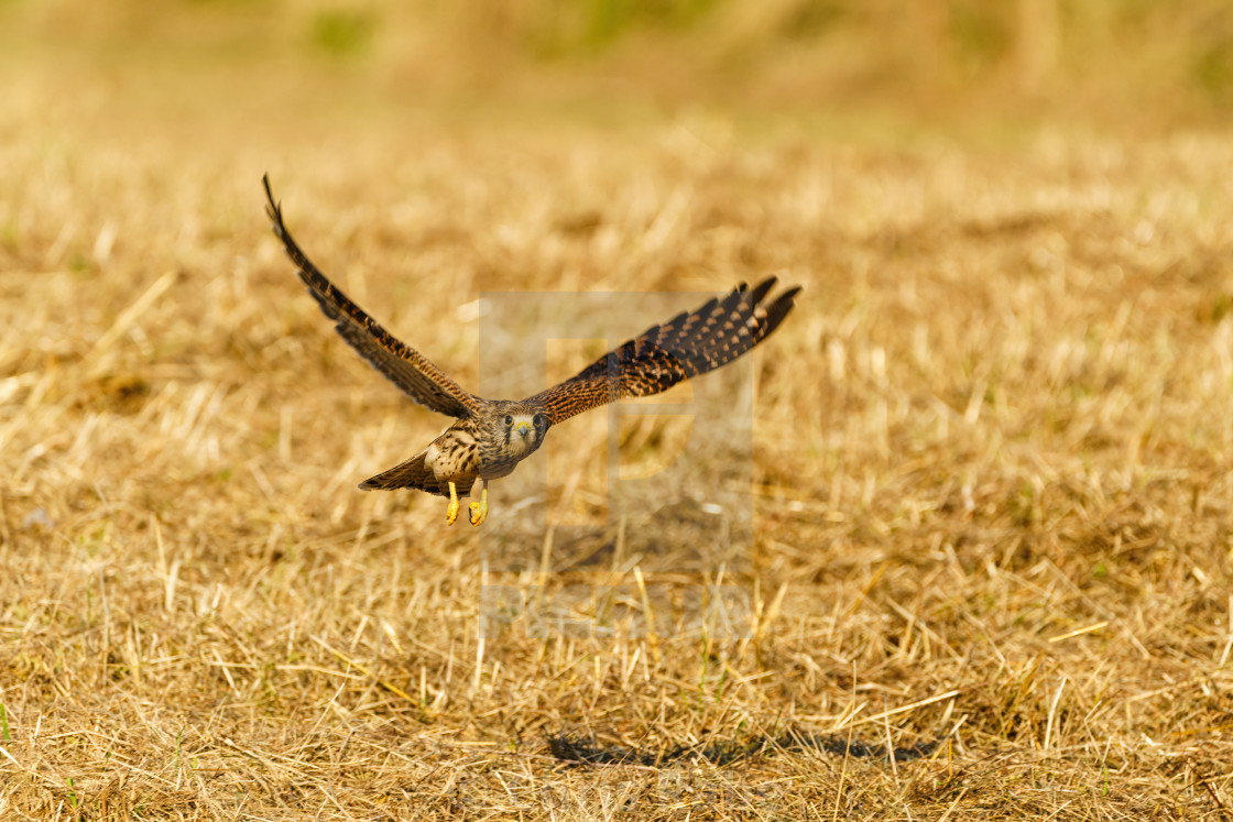 """Common Kestrel (Falco tinnunculus) in flight, low over grass in Richmond, London"" stock image"
