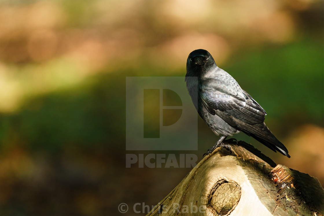 """Jackdaw (Corvus monedula) half in shade staring at camera, taken in the UK"" stock image"