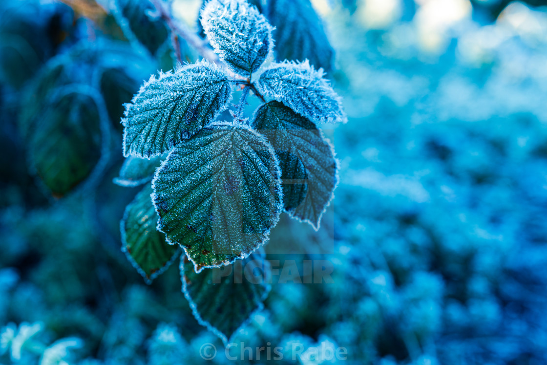 """plant coverd in ice on a cold, frosty winter Morning in Twickenham, London,..."" stock image"