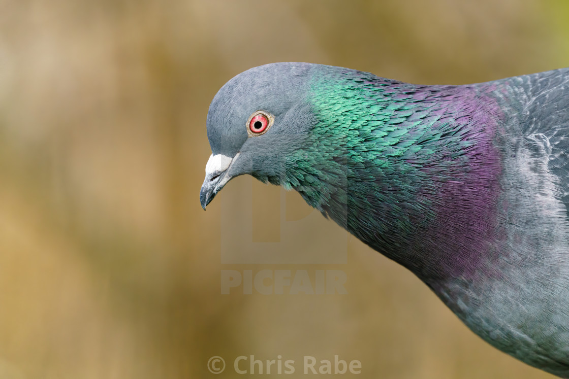 """Rock Dove (Columba livia) close-up portrait showing irridescent green and..."" stock image"