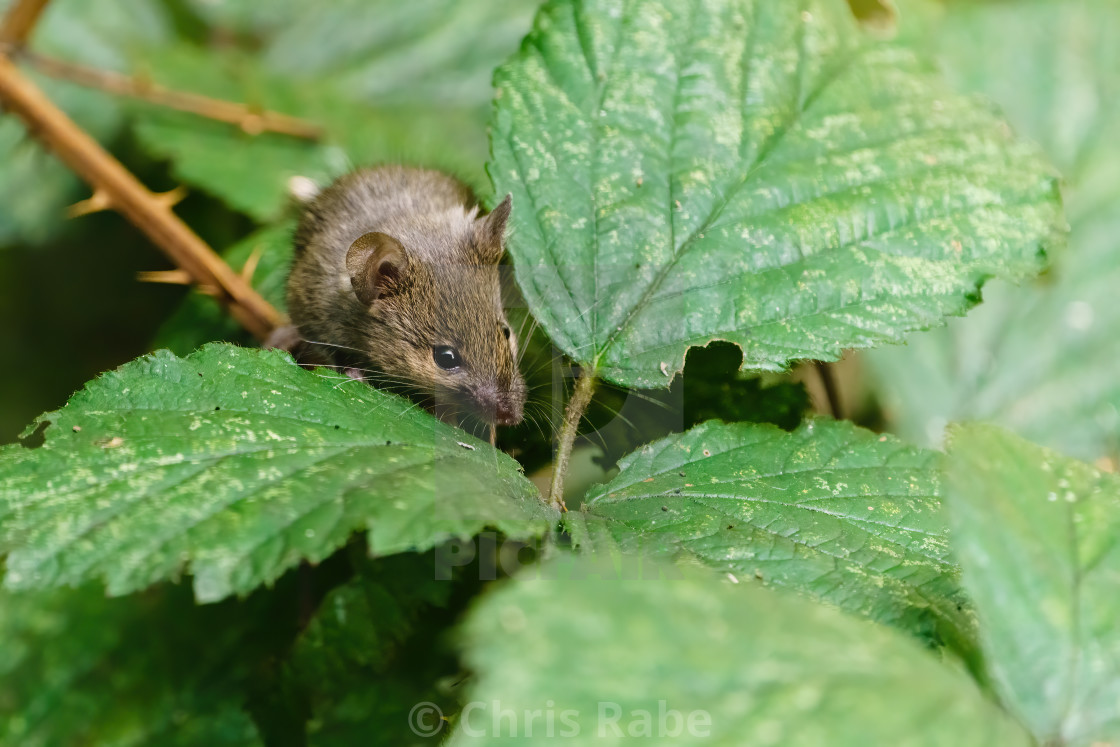 """Wild House Mouse (Mus musculus) climbing on a bush in search of food, taken..."" stock image"