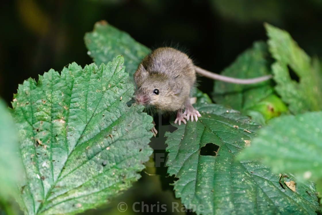 """Wild House Mouse (Mus musculus) climbing on a bush sniffing a leaf in search..."" stock image"