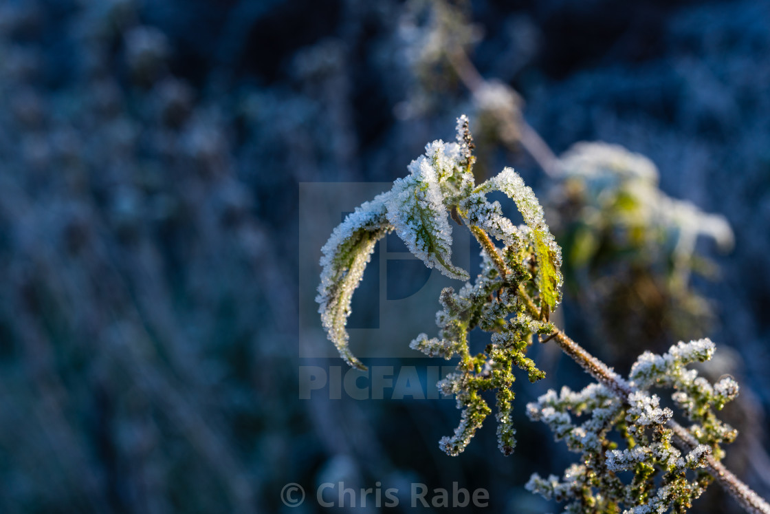 """""""plant coverd in ice on a cold, frosty winter Morning in Twickenham, London,..."""" stock image"""