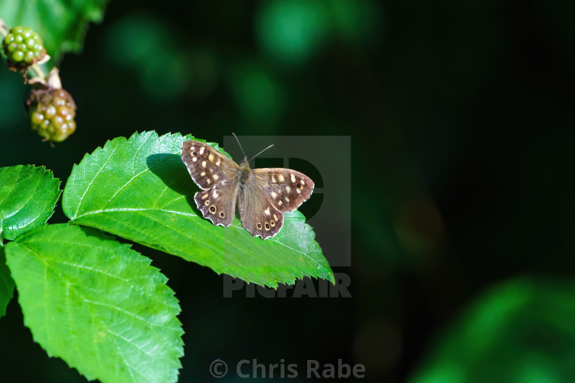 """""""Speckled Wood Butterfly (Pararge aegeria) on a leaf, in the UK"""" stock image"""