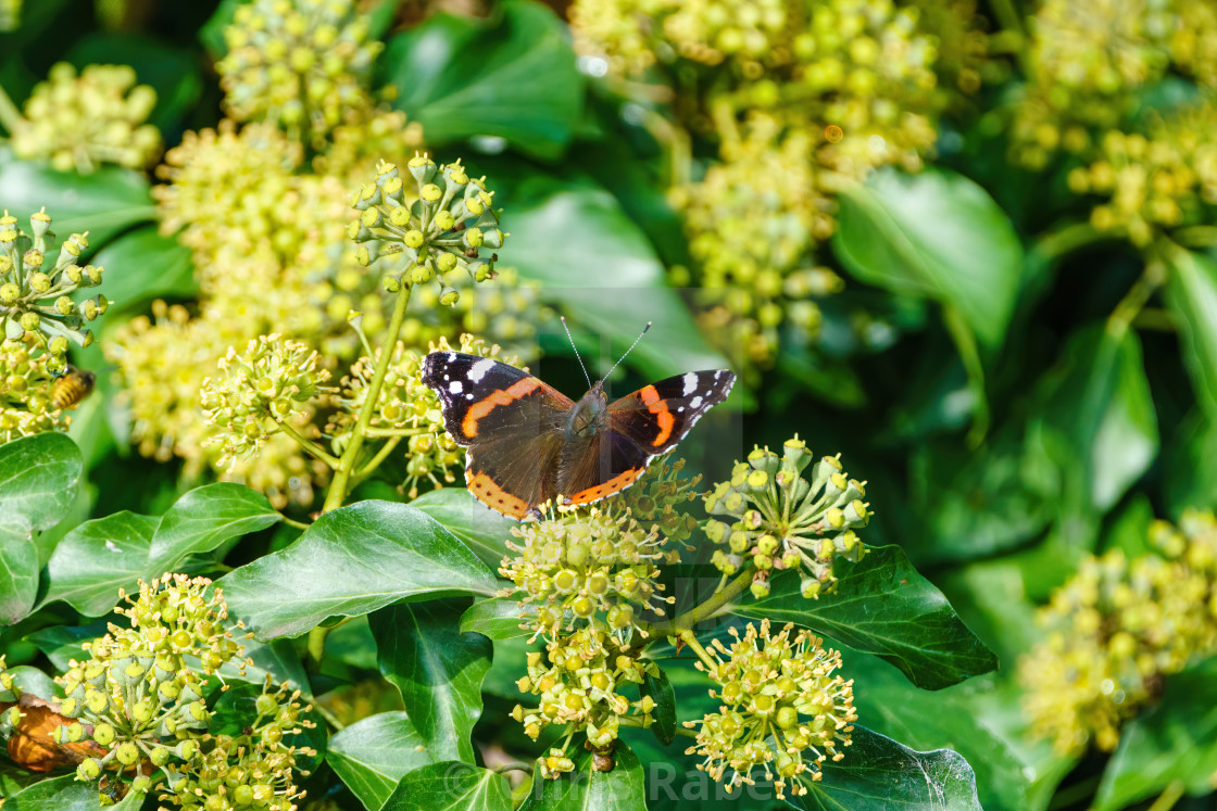 """Red Admiral (Vanessa atalanta) on an ivy hedge in autumn, in London, England"" stock image"
