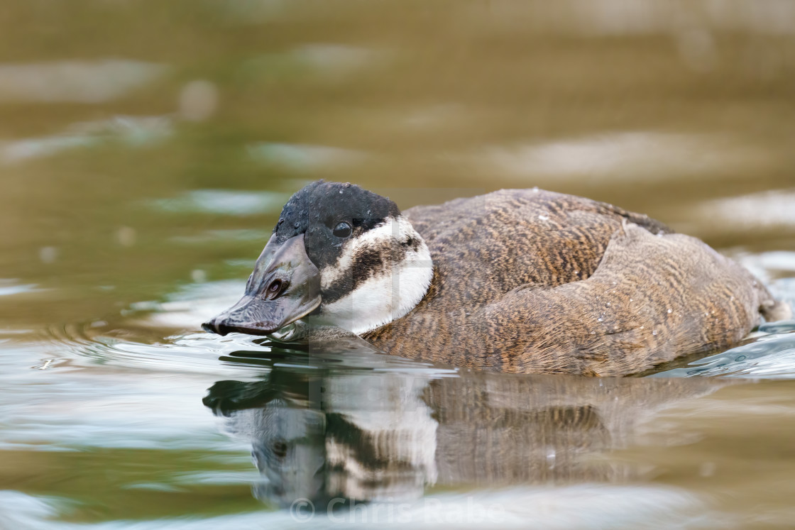 """White-headed Duck (Oxyura leucocephala) female swimming on a pond"" stock image"