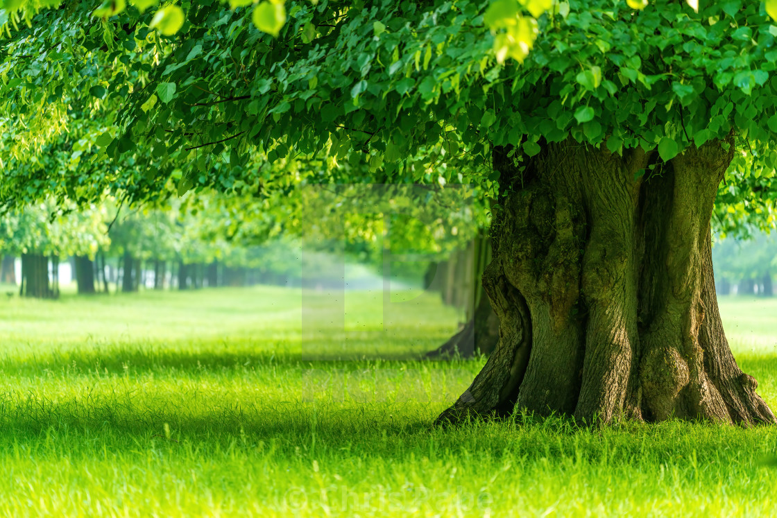 """""""Lines of trees in bright green spring colours in Bushy Park in spring"""" stock image"""