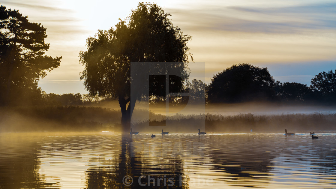 """Geese swimming in the ponds in Bushy Park one foggy November morning just..."" stock image"