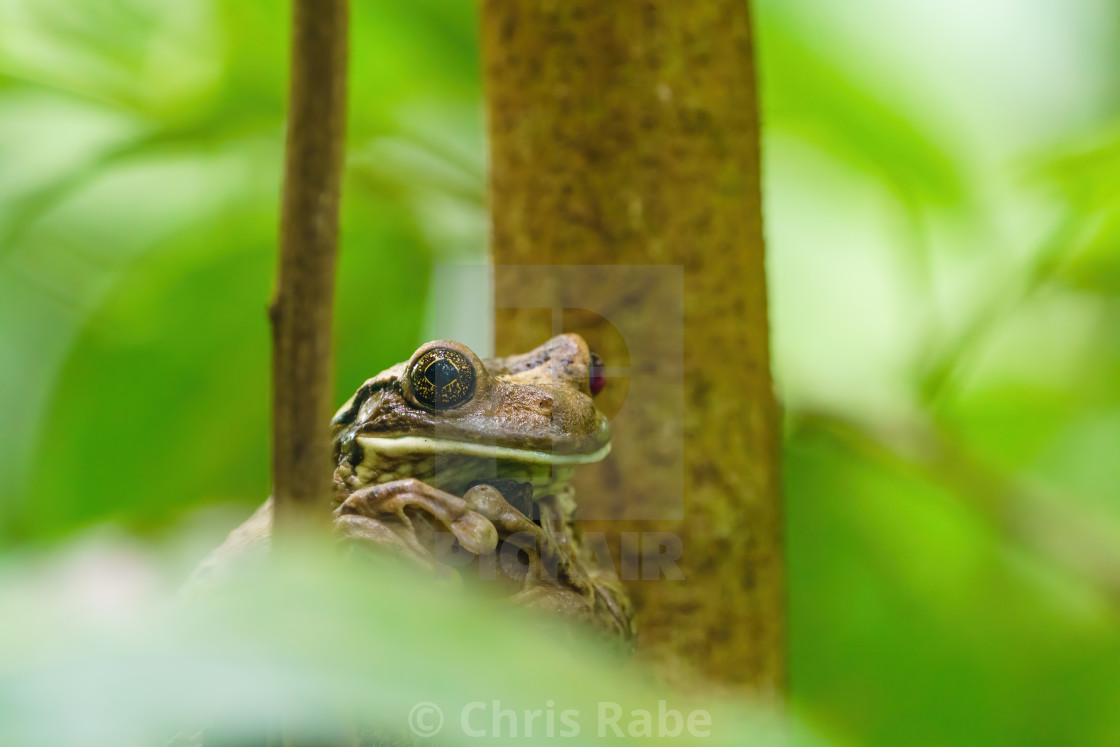 """Veined Tree Frog (Trachycephalus venulosus) in Costa Rica"" stock image"