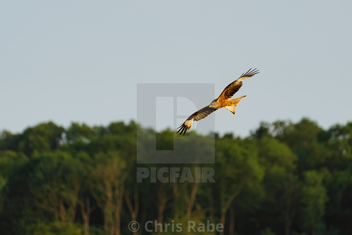"""Red Kite (Milvus milvus)"" stock image"