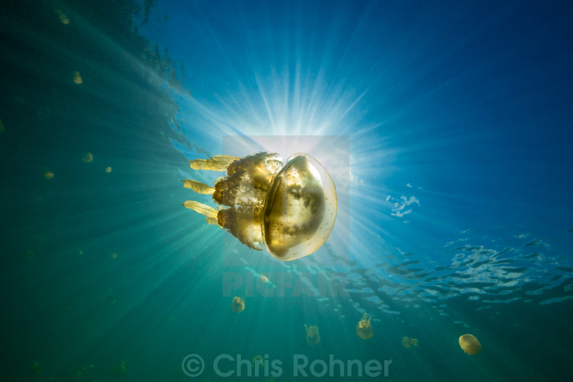"""Jellyfish in the sun"" stock image"