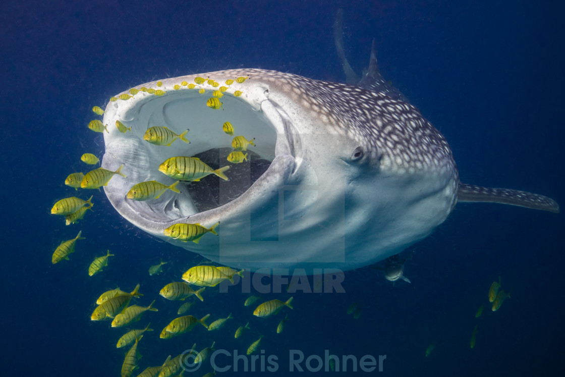"""Hungry whale shark"" stock image"
