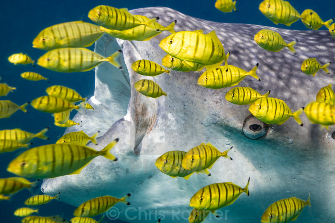 """Whale shark hiding behind fish"" stock image"